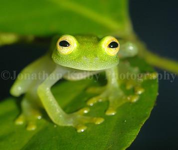 Fleischmann's glass frog (Hyalinobatrachium fleischmanni)