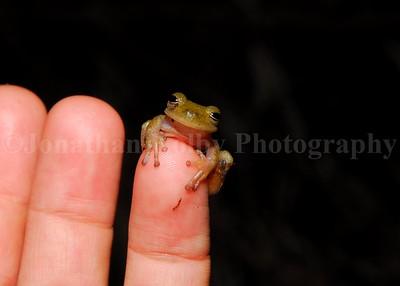 A sleepy Bromeliad Frog (Bromeliohya bromeliacea)