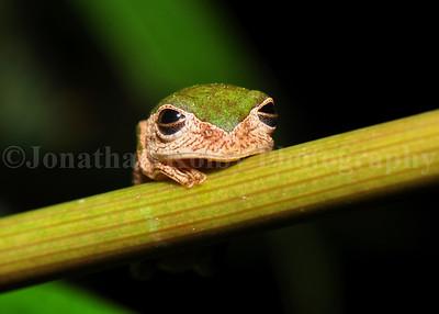 Monkey Treefrog (Phyllomedusa Palliata)