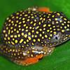 Starry night tree frog (Heterixalus alboguttatus)