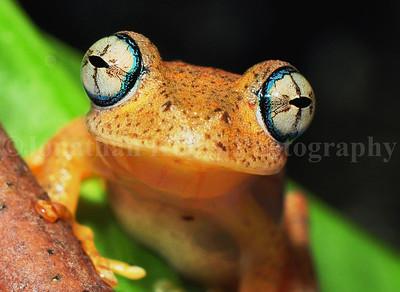 Madagascar Bright-eyed Frog (Boophis pyrrhus)