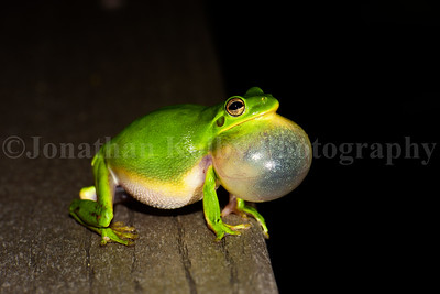 Green Tree Frog (Hyla cinerea) Chorus