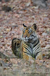 Bengal Tiger (Panthera tigris bengalensis)