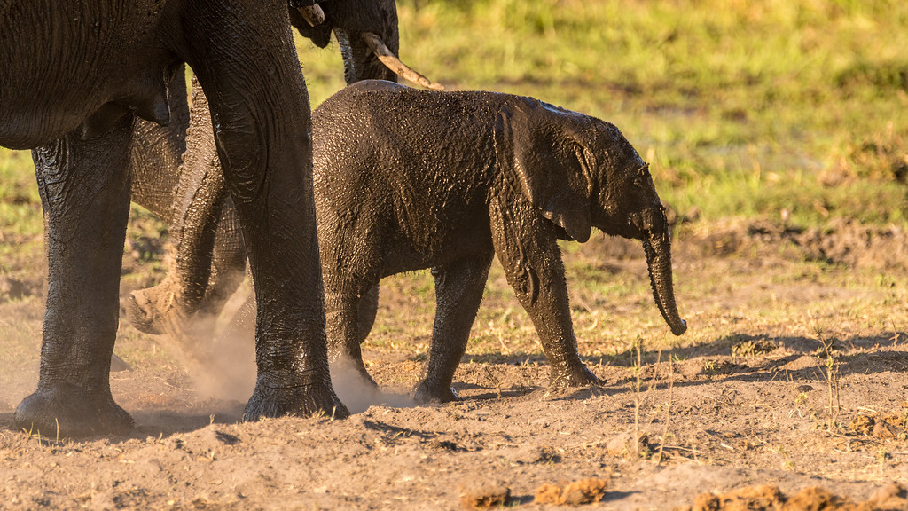 Baby Elephant Covered With Mud
