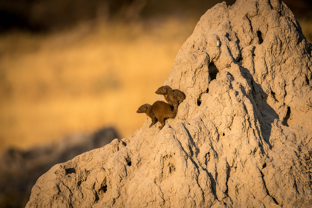 Dwarf Mongoose on Termite Mound