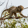 Baby Baboon Practicing Balance