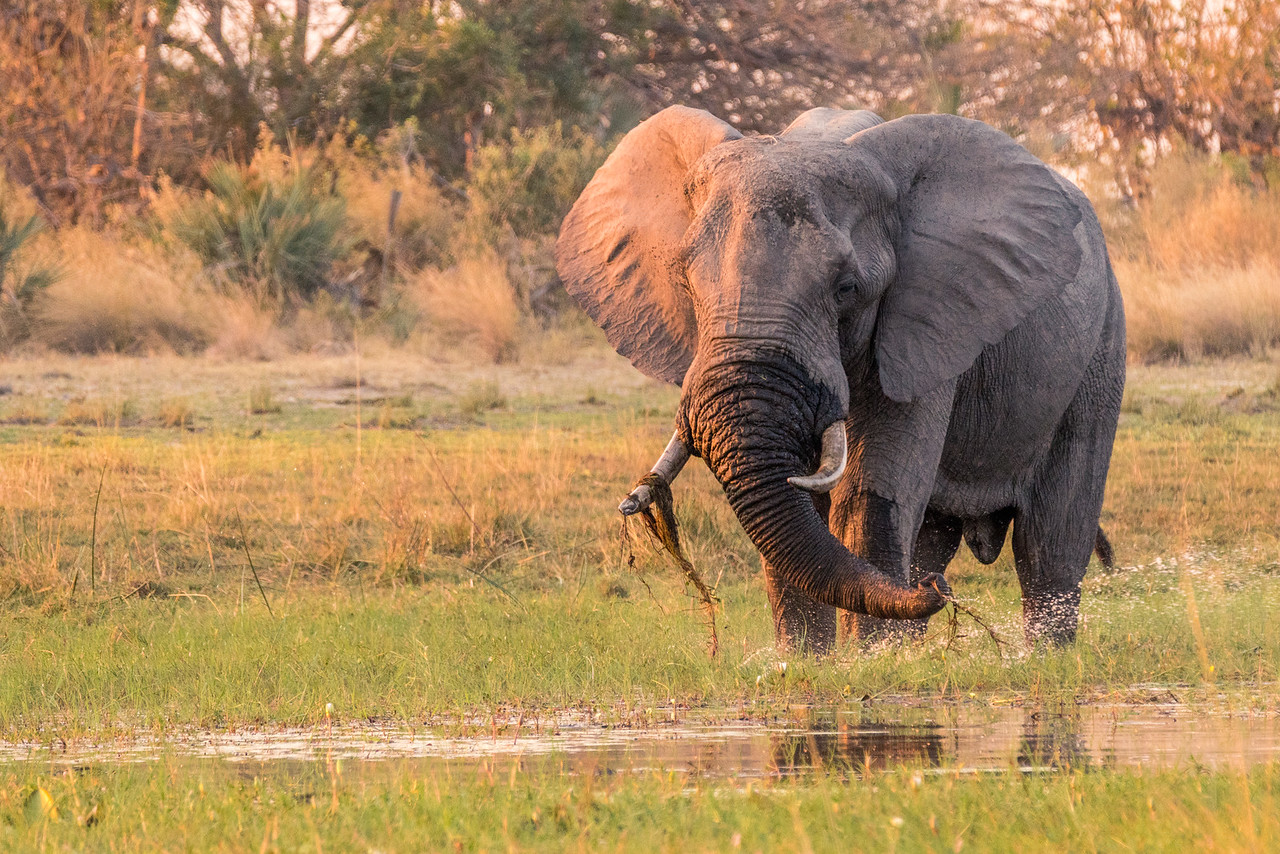 Elephant Pulling Up Grass from Water