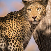Leopard and Kill