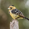 Crested Barbet at Gomoti