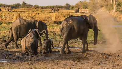 Elephant Family and Mud Bath
