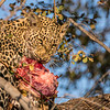 Leopard Cub with Carcass in Tree