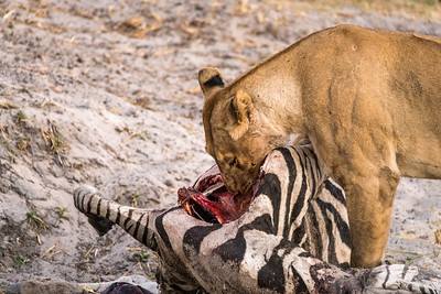 Lioness with her Zebra Kill