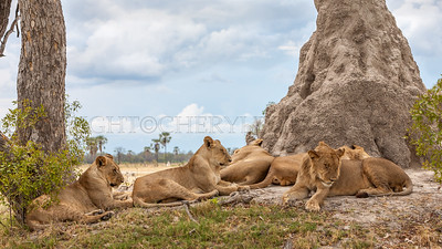 Lions and an Afternoon Nap