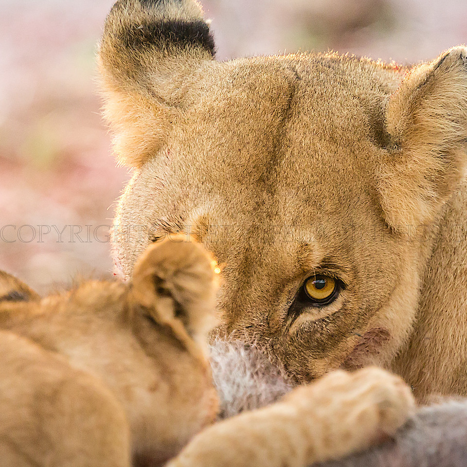Lioness with Cubs Sharing a Meal