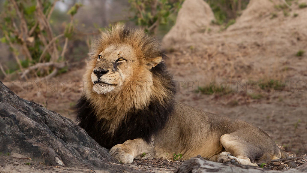 Nomad Lion, Late Afternoon