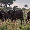 Young Cape Buffalo Bulls