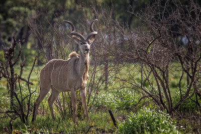 Male Greater Kudu in Tree Savanna
