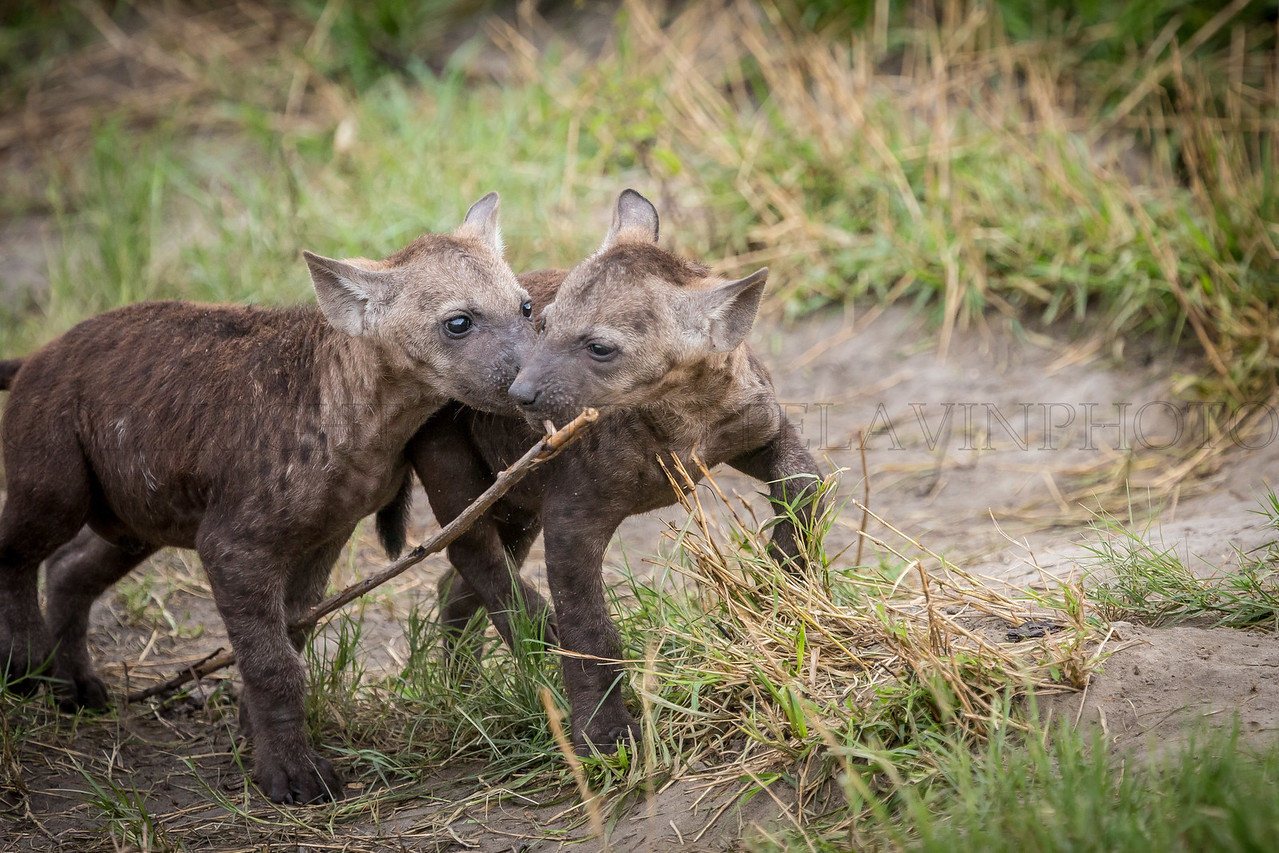 Hyena Pups vie for a Branch