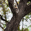 Vervet Monkey and Fuit