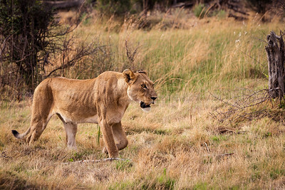 Lioness Leading her Cubs to the Kill