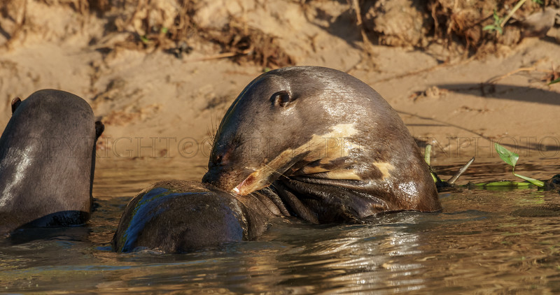Giant River Otter Cleaning her Fur