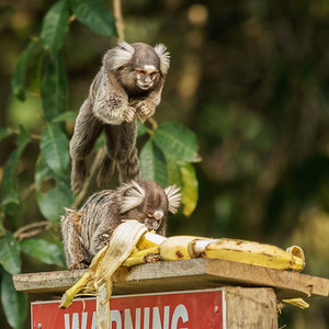 Common Marmoset Jumping for a Banana