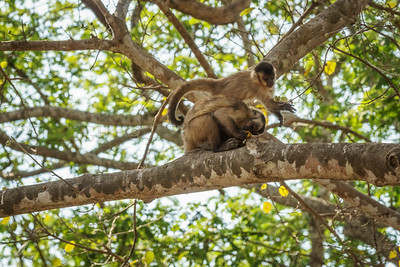 Brown Capuchins with Bananas