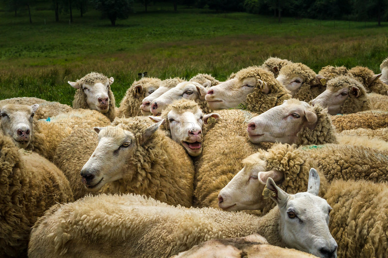 Flocking Sheep