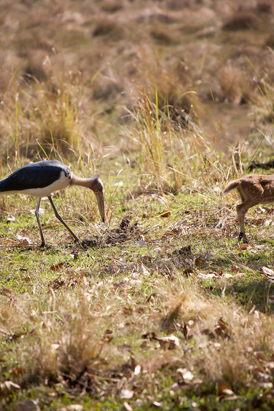 Lesser Adjutant Stork and Spotted Deer