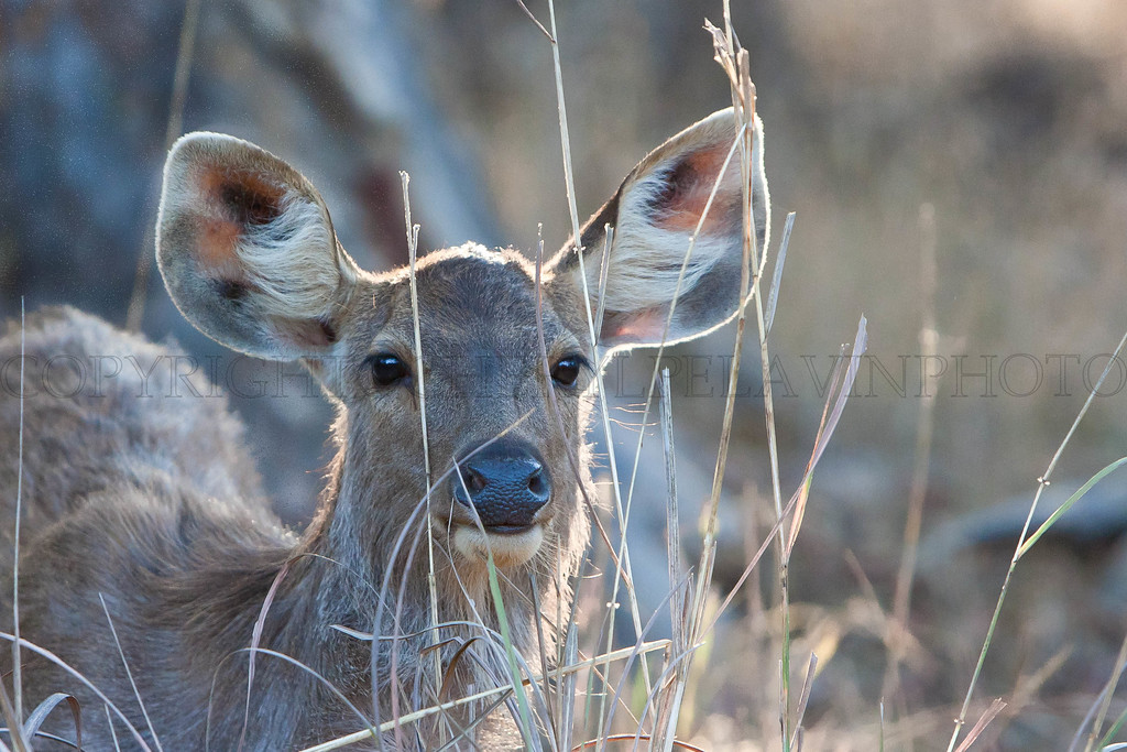 A backlit moment makes this portrait of a female Sambar deer.