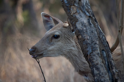 Sambahr Deer, Eating