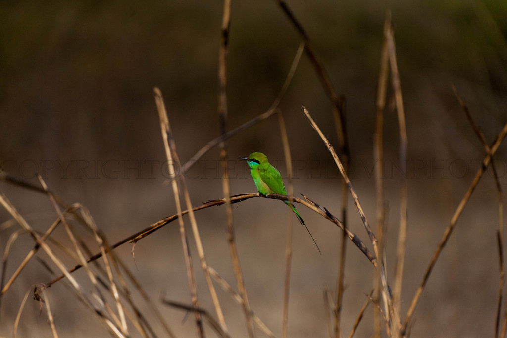 Green Bee-eater, merops orientalis, in another lifer I am going to learn how to really photograph birds. This little bird is plentiful and somewhat tame so I could catch him from a vehicle hand holding my lens.