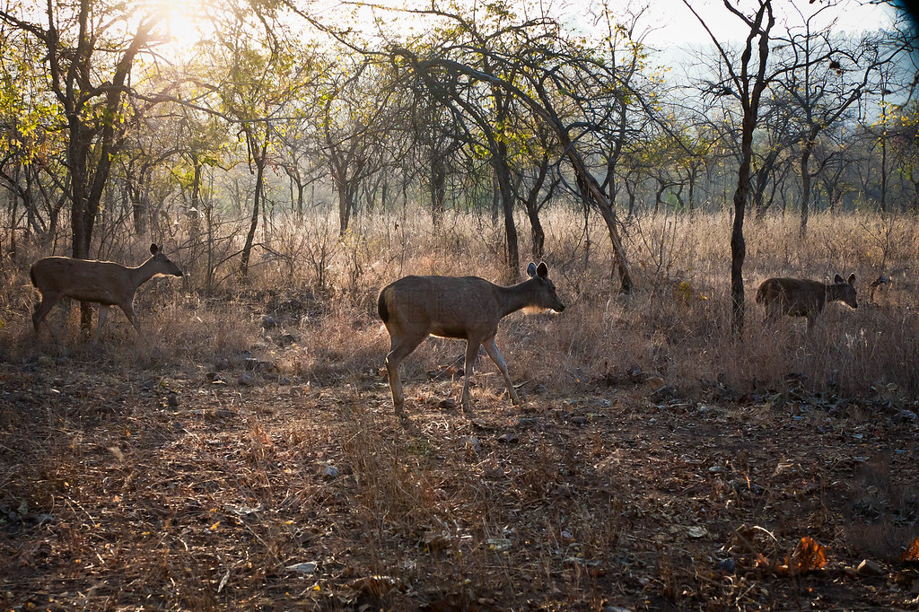 Sambar Deer in the Open