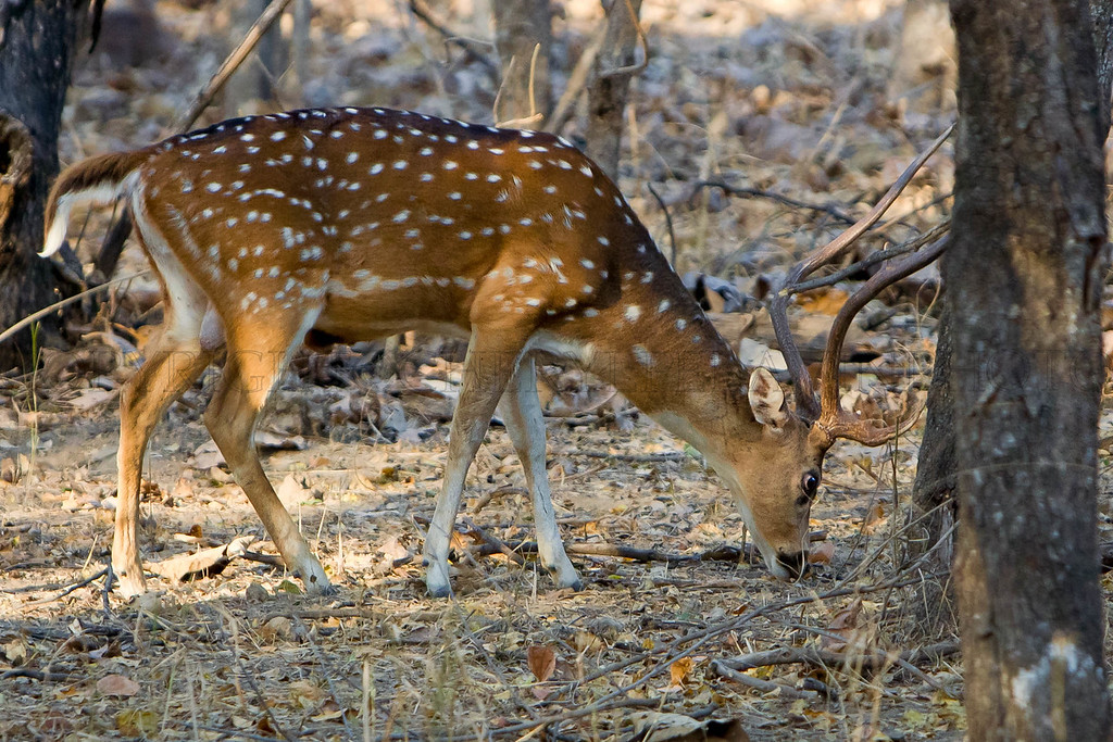 Spotted Deer Buck