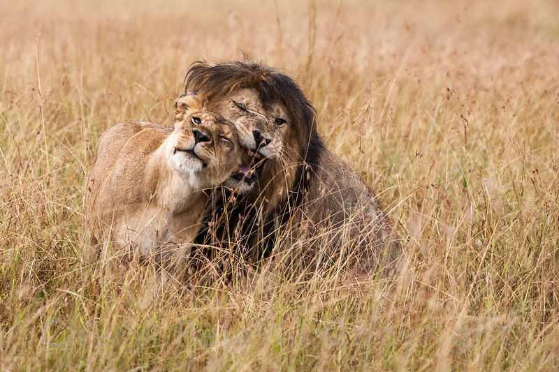 Notch and Lioness