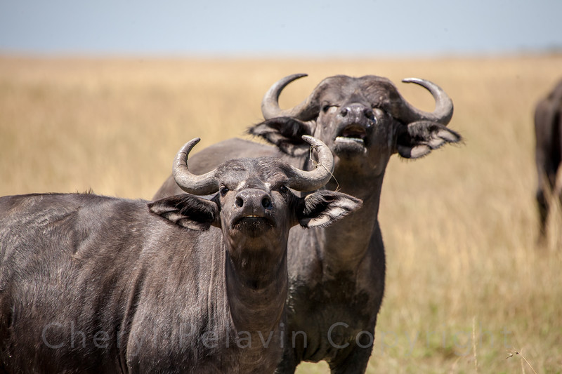 Two Cape Buffalo