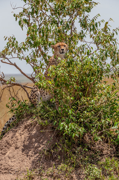 All around this little mound topped by a shrubby plant is an ocean of grass. The cheetah stationed herself in the bush and patiently scanned the horizon. It was very hot, but she stayed put.