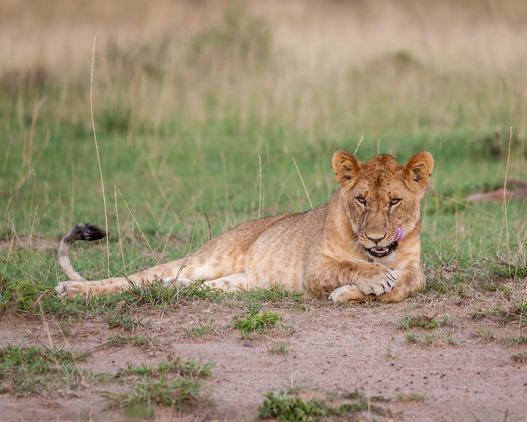 Young Lioness Grooming at Dusk