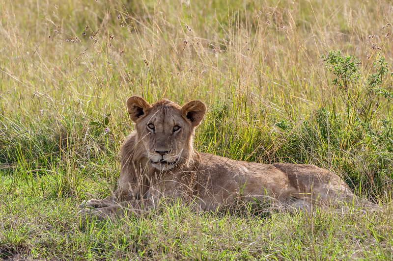 Young Male Lion 8