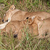 Nursing Lion Cubs 2