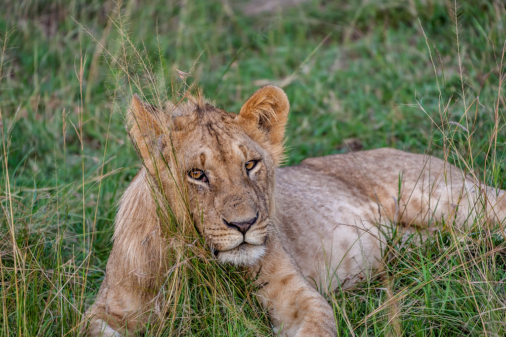 Young Male Lion 14