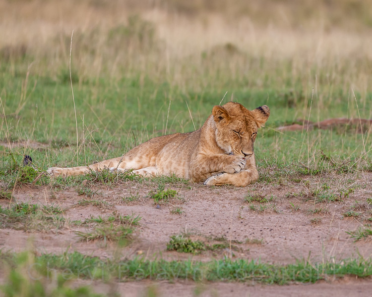 Young Lioness 2