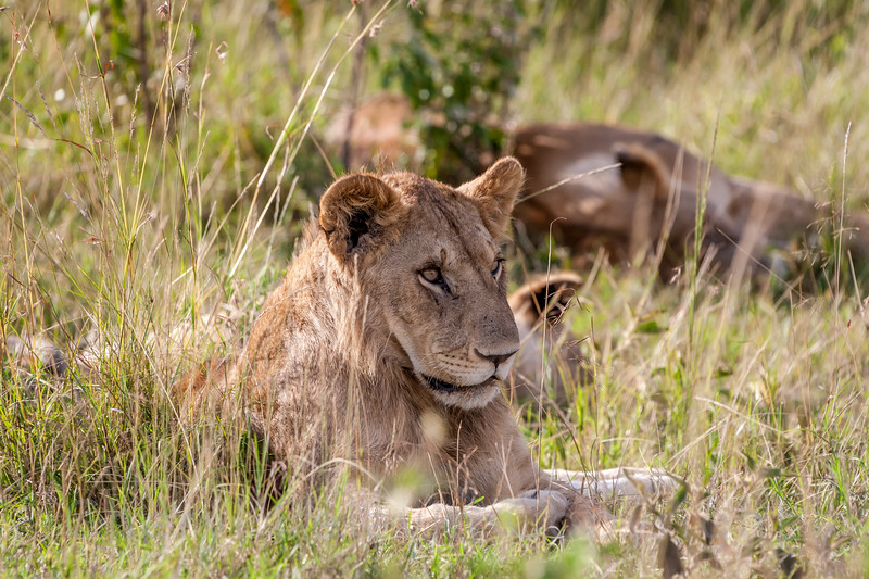Young Male Lion 4
