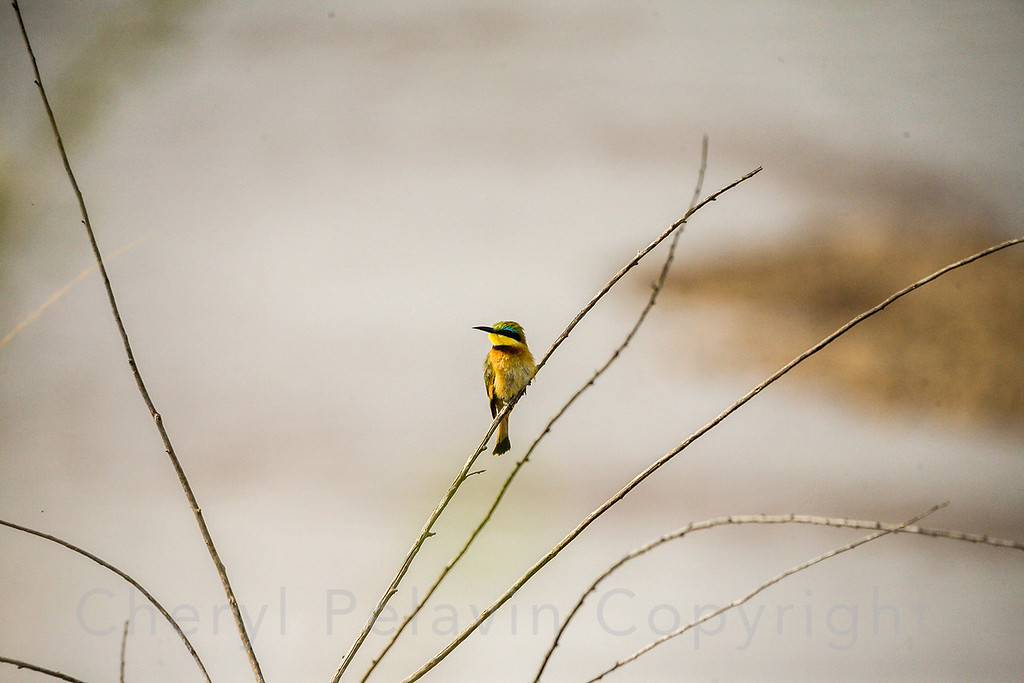 Little Bee-Eater 4