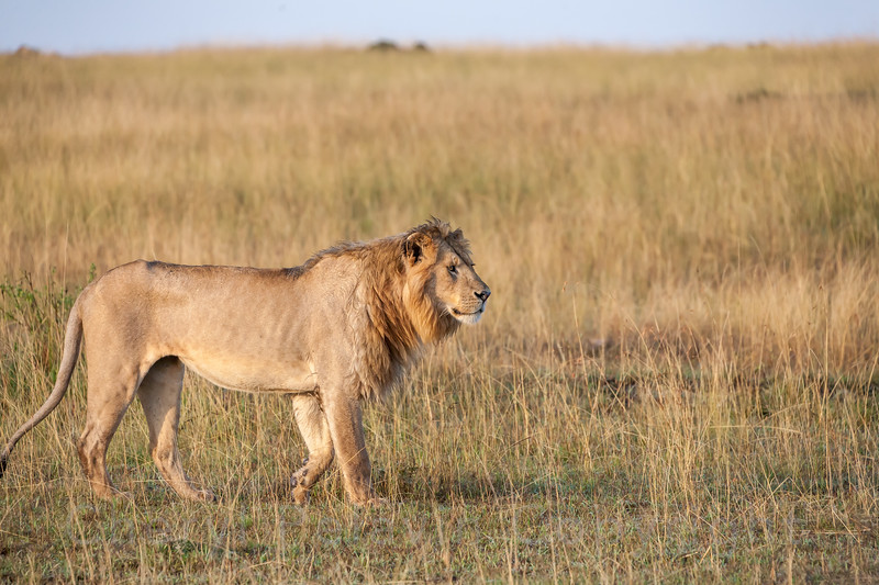 Young Nomad Lion