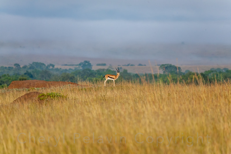 Thomson's Gazelle in Landscape