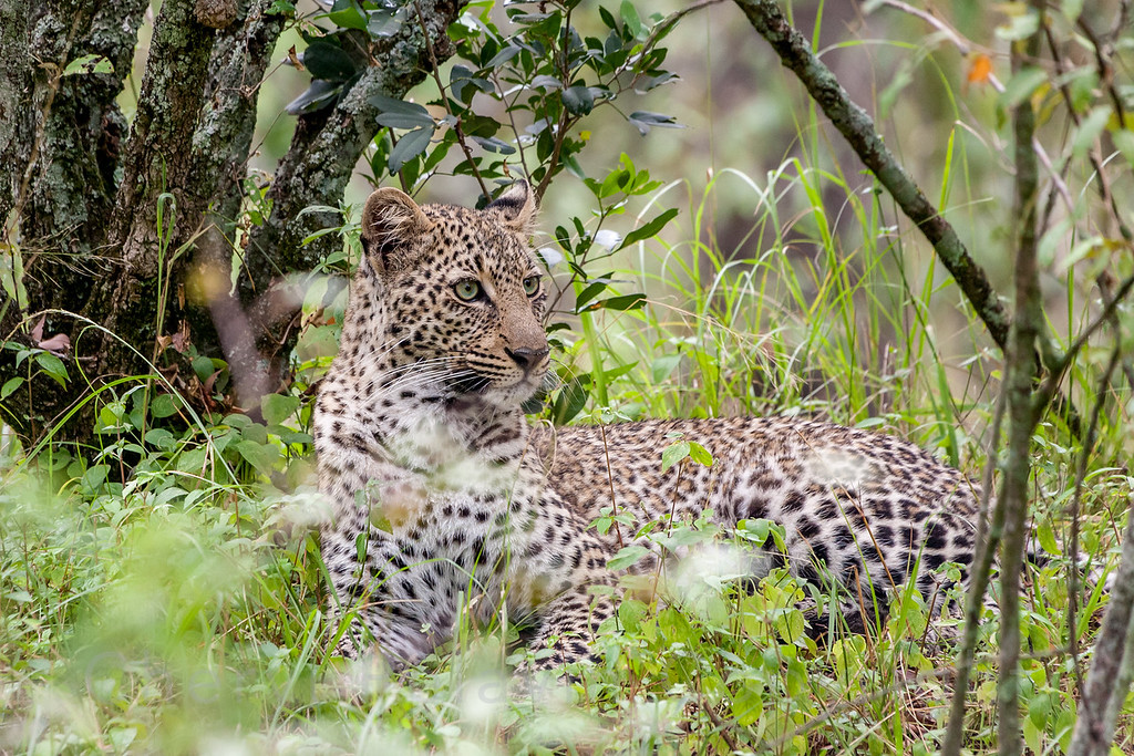 Olive, the Leopard