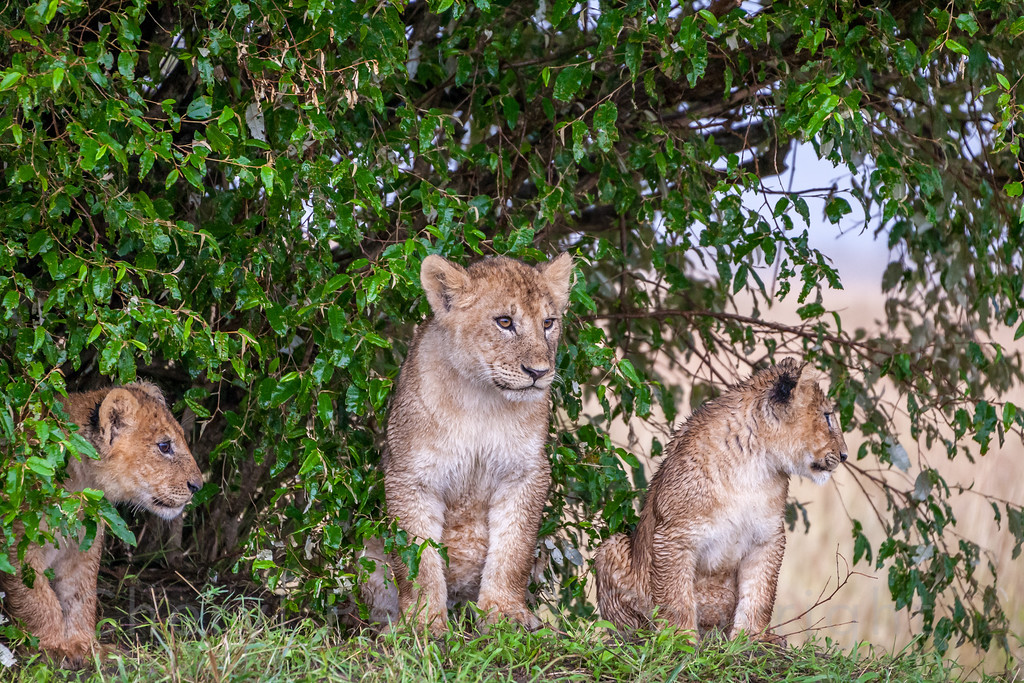 Three Wet Lion Cubs