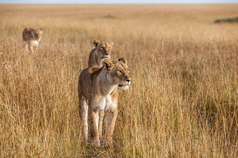Three Lionesses