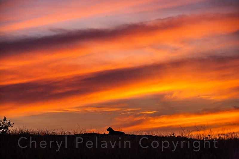 Lioness at Dusk with Big Sky